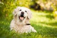 Labrador con pelo maleodorante