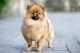 Le vaccinazioni da fare per un cane spitz di pomeriana