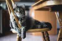 L'alimentazione carnivora del gatto e le crocchette Prolife Nutrigenomic