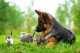 Alimentazione per cucciolo Pastore Tedesco