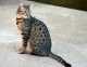 Origini del gatto Mau