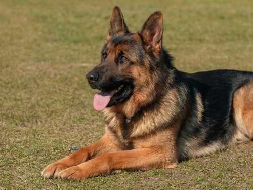 Pastore tedesco che abbaia quando vede altri cani