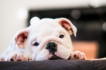 Problema feci molli per una cucciola  di Bulldog Francese
