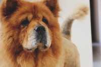 Quali crocchette per un cane Chow Chow?