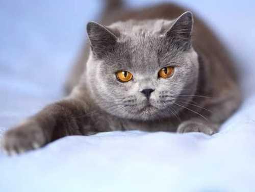 Splendida gatta british shortair con problemi di lacrimazione