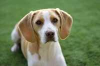 Terapia per un cane con problemi di inspessimento della valvola mitralica del cuore